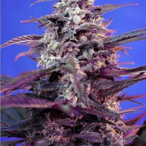 Buy Bloody Skunk AUTO Feminized Seeds (Sweet Seeds) here