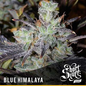 Buy Blue Himalaya Auto Feminized Seeds (Shortstuff Seeds) here