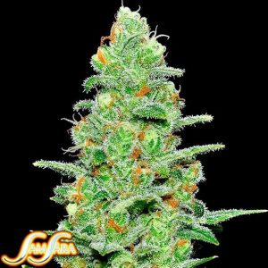 buy Crazy Miss Hyde Autoflower Feminized Seeds (Samsara Seeds) here