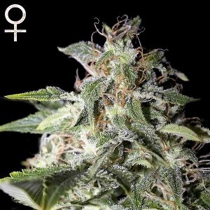 Buy Afgooey Feminized Seeds (Strain Hunters) here