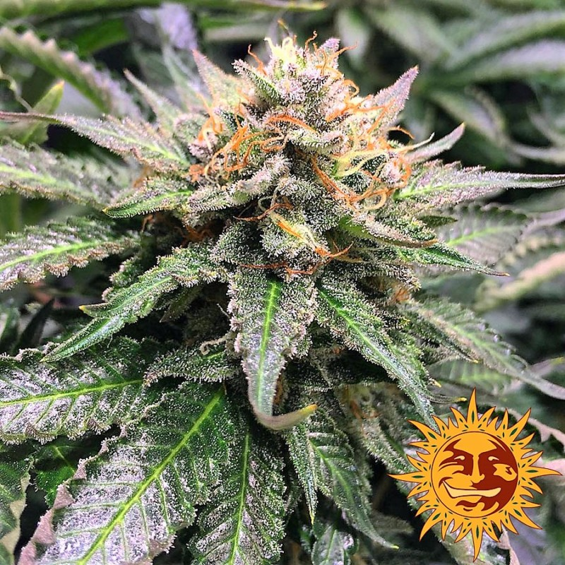 Buy Amnesia Lemon Feminized Seeds (Barney's Farm) here