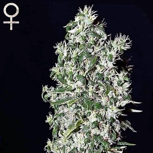 Buy Big Tooth Feminized Seeds (Strain Hunters) here