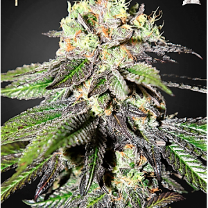 Buy Caboose Feminized Seeds (Strain Hunters) here