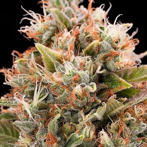 Buy Chemdawg Feminized Seeds (Humboldt Seed Org) here