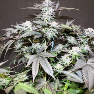 Buy God Bud Seeds (Jordan of the Islands) here