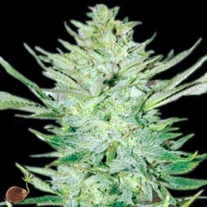 Buy Headlights Kush Auto Feminized Seeds (Emerald Triangle) here