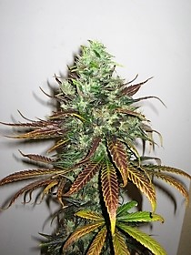 Buy seeds for the strain Kush Northern Lights here