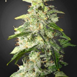 Buy Money Maker Feminized Seeds (Strain Hunters) here