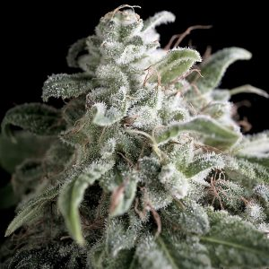 Buy Nefertiti Feminized Seeds (Pyramid Seeds) here