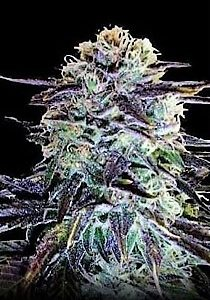 Buy seeds for the strain Northern Berry here