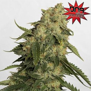 Buy Obi-Wan Kush Feminized Seeds (Canuk Seeds) here