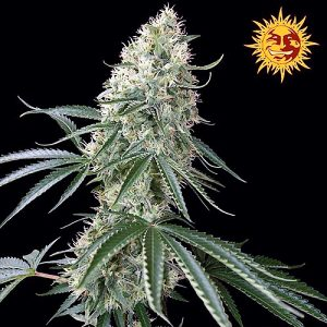 Buy Sin Tra Bajo Auto Feminized Seeds (Barney's Farm) here