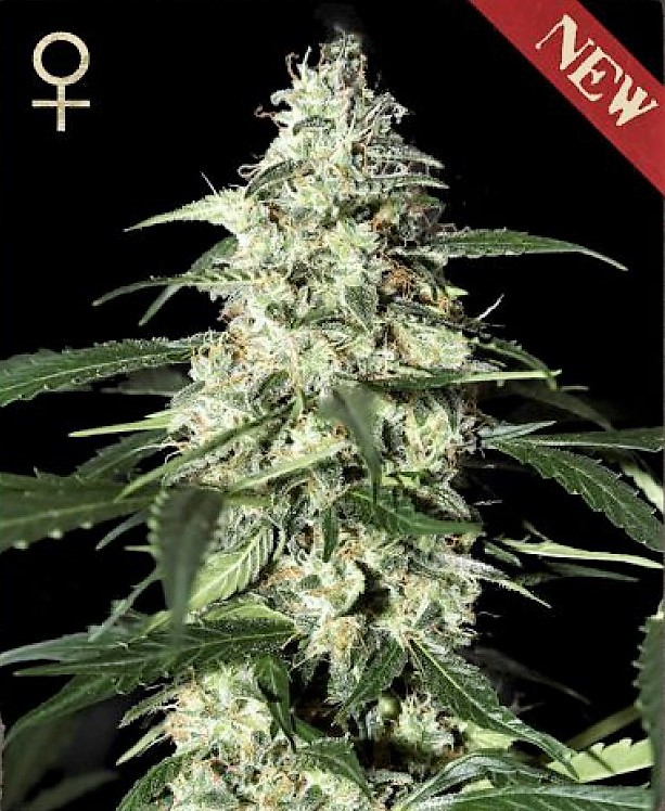 Buy Skunk Auto Feminized Seeds (Strain Hunters) here