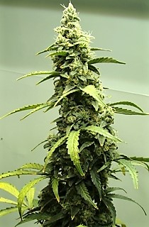 Buy seeds for the strain Sweet Skunk here