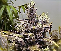 Buy the seeds for the strain Texada Skunk here
