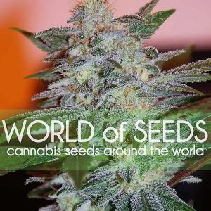 Buy Yumbolt 47 Feminized Seeds (World of Seeds) here