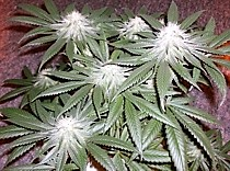 Buy seeds for the strain Kush Skunk seeds here
