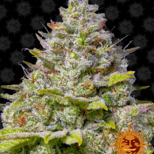 Blue Gelato 41 Feminized Seeds (Barney's Farm)